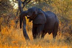 Słoń z wieczór światłem duży zwierzę w natury siedlisku, Chobe, Botswana, Afryka Duży zwierzę w trawie z drzewami w backgrou Fotografia Stock