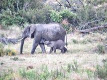 Słoń zależność Zdjęcia Stock