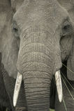 słoń zamknięta głowa s zamknięty Fotografia Stock