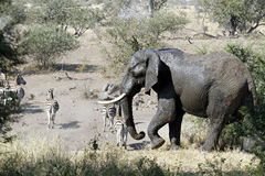 słoń zebra Fotografia Stock