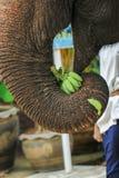 Słoń, zwierzę Obrazy Stock
