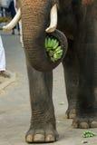 Słoń, zwierzę Fotografia Stock