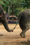 Słoń, zwierzę Obraz Stock