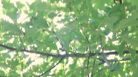Słońc świecenia przez dębowych liści zdjęcie wideo