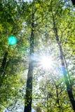 Słońc burstys przez tworzyć obiektywu racę między wysokimi brzoz drzewami zdjęcia stock
