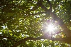 Słońca łamanie przez liści drzewo Obraz Royalty Free
