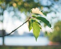 Słońca światło na drzewnych liściach Fotografia Royalty Free