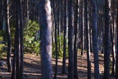 Słońca światło przez drzew w lesie obrazy royalty free