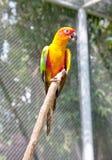 Słońca Conure Papuga obraz royalty free