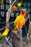 Słońca Conure Papuga fotografia stock