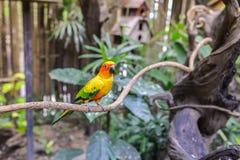 Słońca conure papuga na gałąź Obraz Royalty Free