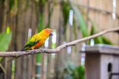 Słońca conure papuga na gałąź Zdjęcia Royalty Free