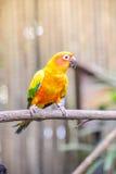 Słońca conure papuga na gałąź Fotografia Royalty Free