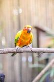 Słońca conure papuga na gałąź Zdjęcie Stock