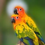 Słońca Conure papugi ptak Obrazy Stock