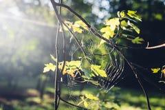 Słońca jaśnienie przez dębowego drzewa liści i spiderweb w jesieni Fotografia Royalty Free