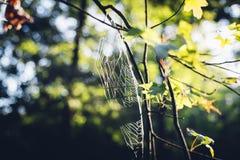 Słońca jaśnienie przez dębowego drzewa liści i spiderweb w jesieni Obrazy Royalty Free