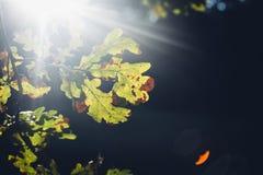 Słońca jaśnienie przez dębowego drzewa opuszcza w jesieni Fotografia Royalty Free