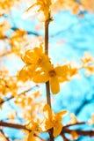 Słońca jaśnienie przez kwitnącego żółtego kwiatu drzewa zdjęcia stock