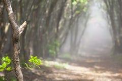 Słońca jaśnienie Przez Mglistych drzew, Hawaje Zdjęcie Royalty Free