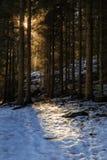 Słońca jaśnienie przez sosnowego lasu podczas zimy Obrazy Royalty Free