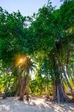 Słońca jaśnienie przez wielkiego drzewa ulistnienia na tropikalnej małej wyspie Fulidhoo, Maldives Obraz Royalty Free