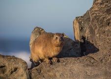 Słońca kąpania rockowego góralka Procavia aka capensis przy Wydrowym śladem przy oceanem indyjskim Obraz Stock