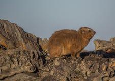 Słońca kąpania rockowego góralka Procavia aka capensis przy Wydrowym Trais przy oceanem indyjskim Fotografia Stock