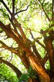 Słońca lekki przybycie przez gałąź duży drzewo Obraz Royalty Free