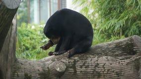 Słońca niedźwiadkowy suszarniczy w górę drzewa dalej zdjęcie royalty free