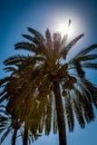 słońca palmowy drzewo Fotografia Stock