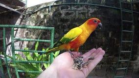 Słońca parakeet je ziarna zbiory