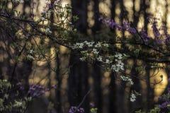 Słońca położenie na dereniu kwitnie przez drewien Zdjęcia Stock