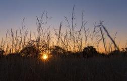 Słońca położenie przez dojrzałych traw ziaren z niebieskim niebem Obraz Stock