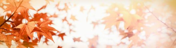 Słońca ` s światła przerwy przez drzewnego ` s koronują - jesień liście zaświecających światłem słonecznym Obraz Royalty Free