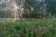 Słońca ` s promienie przez mgły w lesie Obraz Royalty Free