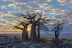 Słońca starburst przy baobabami Fotografia Royalty Free