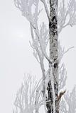 słońca zakrywający śnieżny drzewo Fotografia Stock