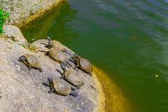 słońce żółwie Zdjęcie Royalty Free