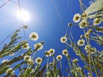 Słońce błyszczy nad chamomile kwiatami Fotografia Stock