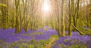 Słońce błyszczy przez bukowych drzew iluminuje dywan bluebell zdjęcia royalty free