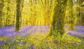 Słońce błyszczy przez bukowych drzew iluminuje dywan bluebell fotografia royalty free