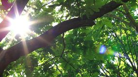 Słońce błyszczy przez gałąź dąb Miesiąc Maj, luksusowy ulistnienie zdjęcie wideo