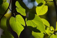 Słońce błyszczy przez liści Zdjęcie Royalty Free