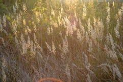 Słońce błyszczy przez trawy Obrazy Stock