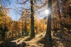 Słońce błyszczy przez złotego żółtego modrzewiowego lasu w opóźnionej jesieni w halnej dolinie pod niebieskim niebem obraz royalty free