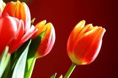 słońce całujący tulipany Zdjęcie Stock