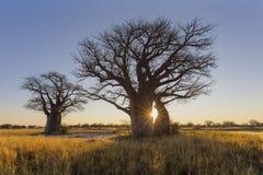 Słońce gwiazda pęka przy wschód słońca przy baobabu drzewem fotografia stock