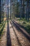 Słońce i cienie rysuje linie w wiosen sosnowych lasowych liniach cienie i droga przemian fotografia stock