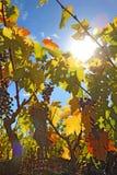 Słońce i gronowi winogrady z obiektywu racą Fotografia Royalty Free